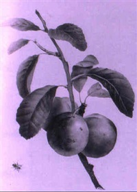 study of plums by grigory gagarin