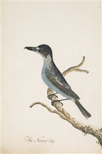 hook-billed shrike (grey butcher bird) by the sydney bird painter