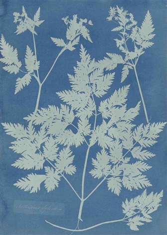 anthriscus sylvestria or earlier by anna atkins