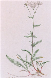 jasione montana by franciscus sansom