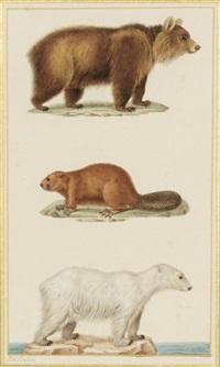 ours brun, castor et ours polaire by jean gabriel prêtre