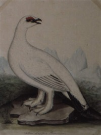 a ptarmigan by christopher (rev.) atkinson