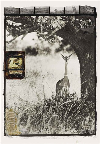 female gerenuk at midday on the tiva lugga by peter beard