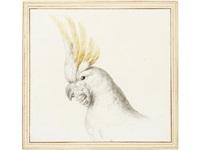 study of a citron-crested cockatoo (cacatua sulphurea citrinocristata) by vincenzo leonardi