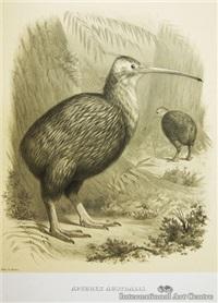 apteryx australis (kiwi) by charles barney cory