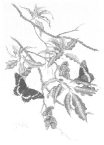 papilio scarmander by rosalia demonte