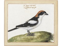 study of a woodchat shrike; and study of a lesser grey shrike by vincenzo leonardi