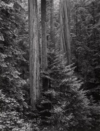 redwoods, humboldt county, northern california by ansel adams