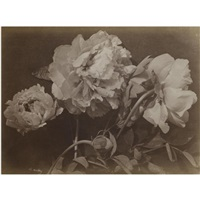untitled (peonies) by charles aubry