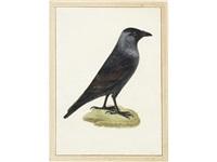 study of a jackdaw (corvus monedula) by vincenzo leonardi