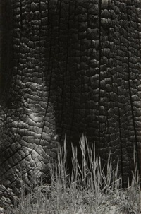 burnt stump and new grass, sierra nevada, california by ansel adams
