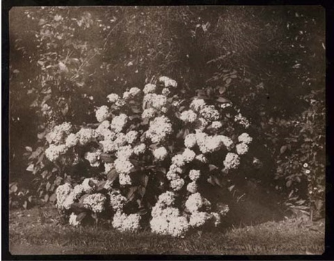 a bush of hydrangea in flower by william henry fox talbot