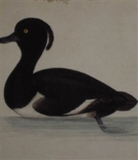 a tufted duck by christopher (rev.) atkinson