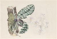 phalaenopsis schilleriana by joseph andrews