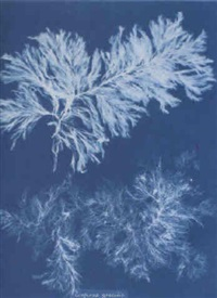 photographs of british algae by anna atkins