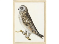 study of a short-eared owl (asio flammeus) by vincenzo leonardi