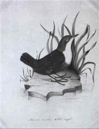 golden plover by christopher (rev.) atkinson