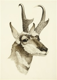 pronghorn antelope by axel amuchastegui