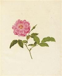 die rosen nach der natur gezeichnet und colorirt mit kurzen botanischen bestimmungen begleitet (bk w/ 55 works & text) by carl gottlob roessig