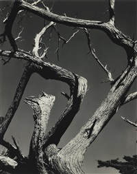 cypress by edward weston