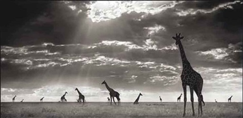 giraffes in evening light maasai mara by nick brandt