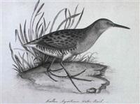 a sanderling by christopher (rev.) atkinson