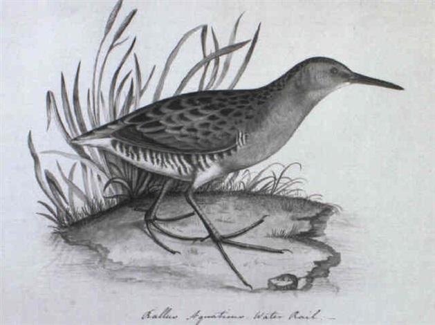 a sanderling by christopher rev atkinson
