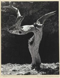 monterey cypress by edward weston