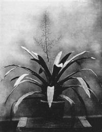 pflanzenstudie by franz antoine