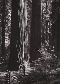 redwoods, richardson grove, california by ansel adams