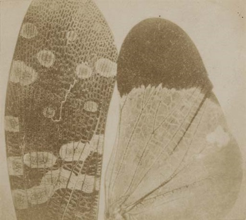 insect wings seen through the solar microscope by william henry fox talbot
