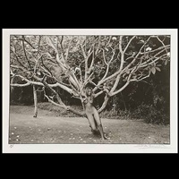 philippa tree, barbados by john swannell