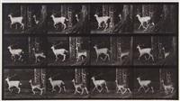 fallow deer, buck and doe, trotting, plate 685 (from animal locomotion) by eadweard muybridge
