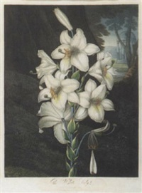 the white lily by joseph constantine stadler