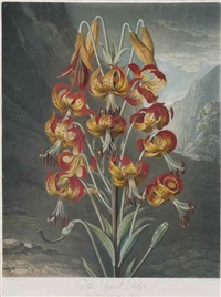 the superb lily from the temple of flora by william ward