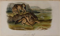 prairie wolf (plate lxxi) by john woodhouse audubon