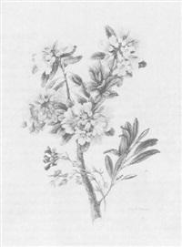 rhododendron by emilie-anna reinhart