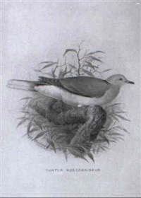 ornithological studies of pigeons by henrik gronvold