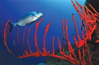 big reef by kerim sabuncuoglu