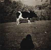 cow and shadow by peter peryer