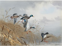 mallards over reeds by john cyril harrison