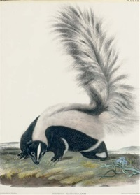 large tailed skunk, male. natural size (plate cii) by john woodhouse audubon
