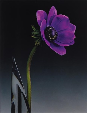 anemone by robert mapplethorpe