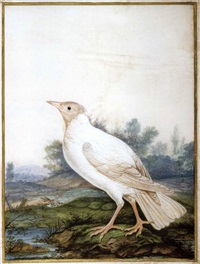 corneille noire albinos (collab. w/workshop) by claude aubriet