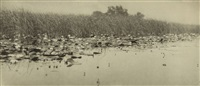 water lilies, plate viii (from life and landscape on the norfolk broads) by peter henry emerson