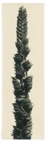 beckmannia cruciformis by karl blossfeldt