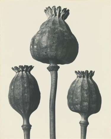 papaver orientalis mohnkapseln by karl blossfeldt