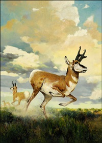 pronghorn antelope by douglas allen