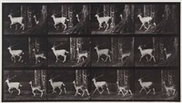fallow deer, buck and doe, trotting, plate 685 from animal locomotion by eadweard muybridge