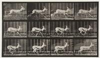 antelope trotting, plate 698 by eadweard muybridge